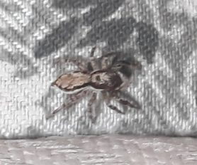 Picture of Menemerus bivittatus (Gray Wall Jumper) - Dorsal