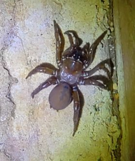 Picture of Antrodiaetus spp. - Dorsal