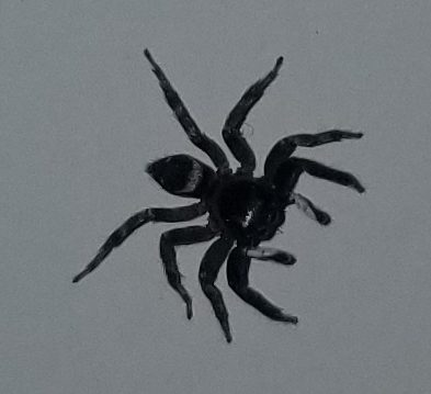 Picture of Phidippus - Dorsal