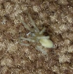 Picture of Cheiracanthium mildei (Long-legged Sac Spider) - Dorsal
