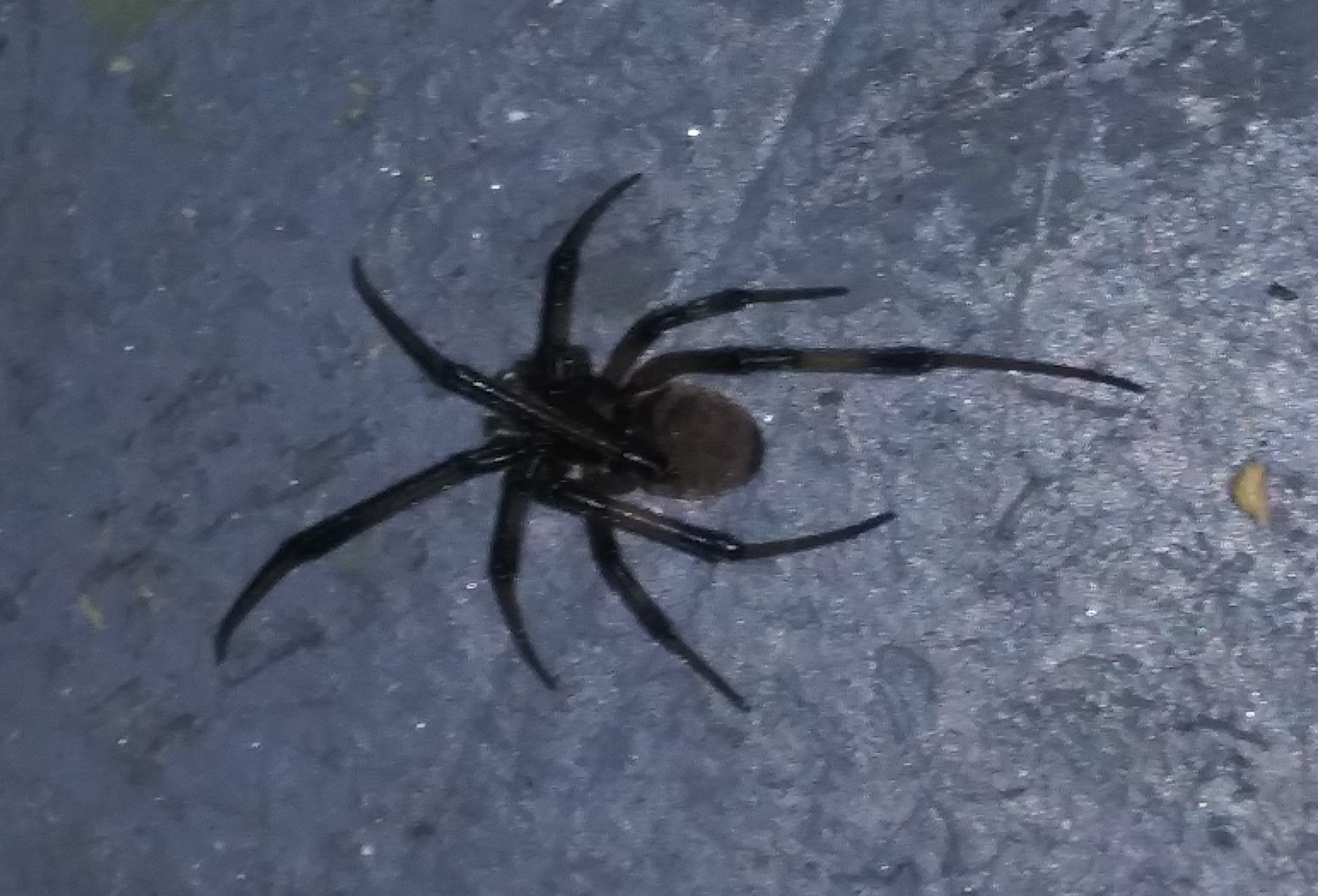Picture of Latrodectus (Widow Spiders) - Dorsal