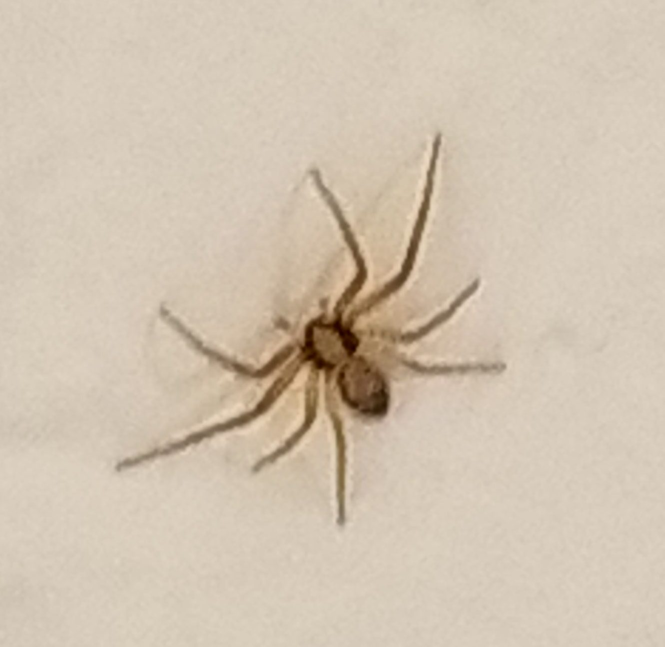 Picture of Philodromus - Dorsal
