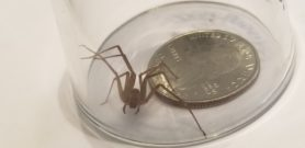 Picture of Loxosceles reclusa (Brown Recluse) - Eyes