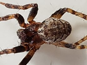 Picture of Larinioides spp. (Furrow Spiders) - Dorsal