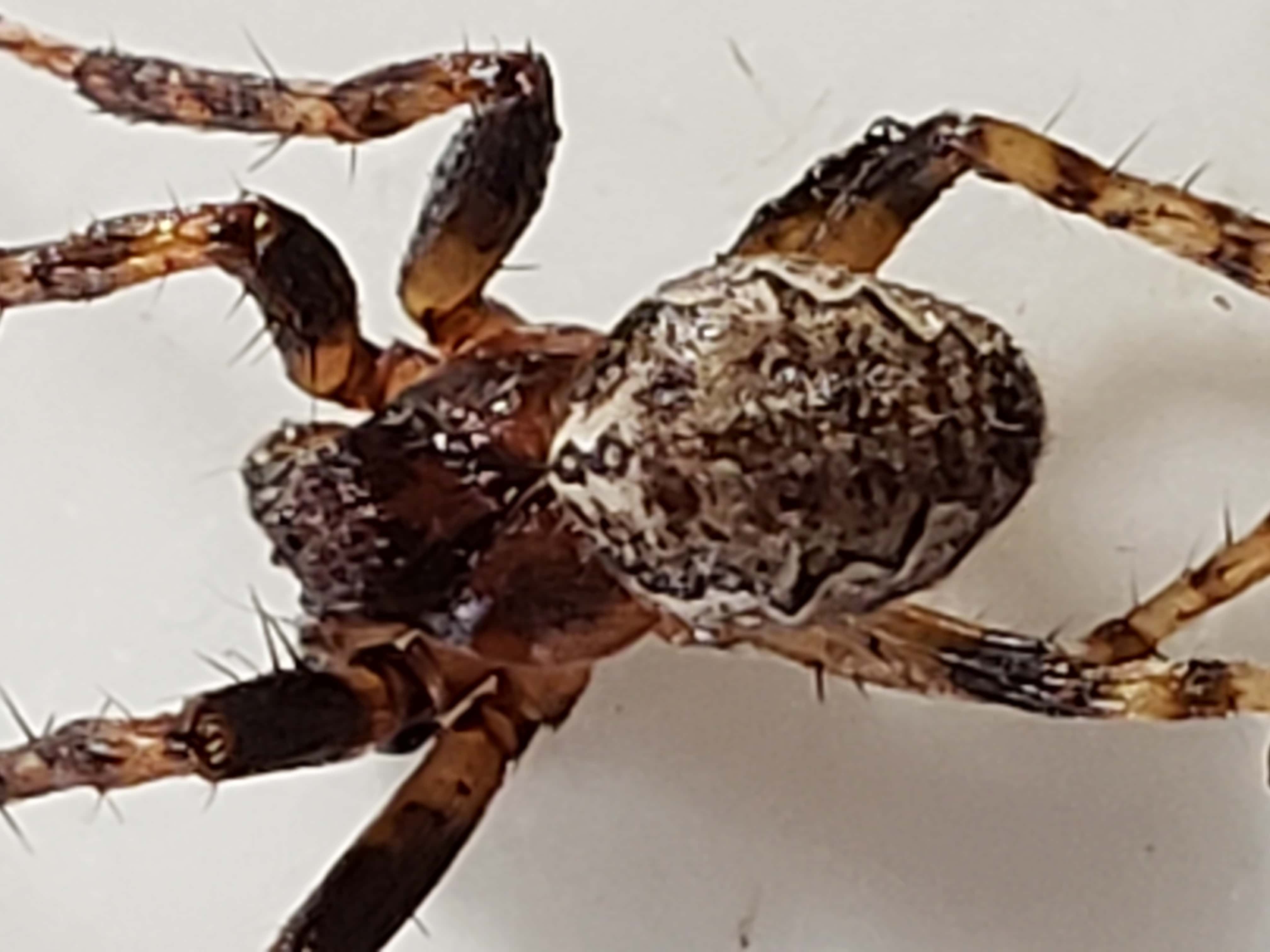 Picture of Larinioides (Furrow Spiders) - Dorsal