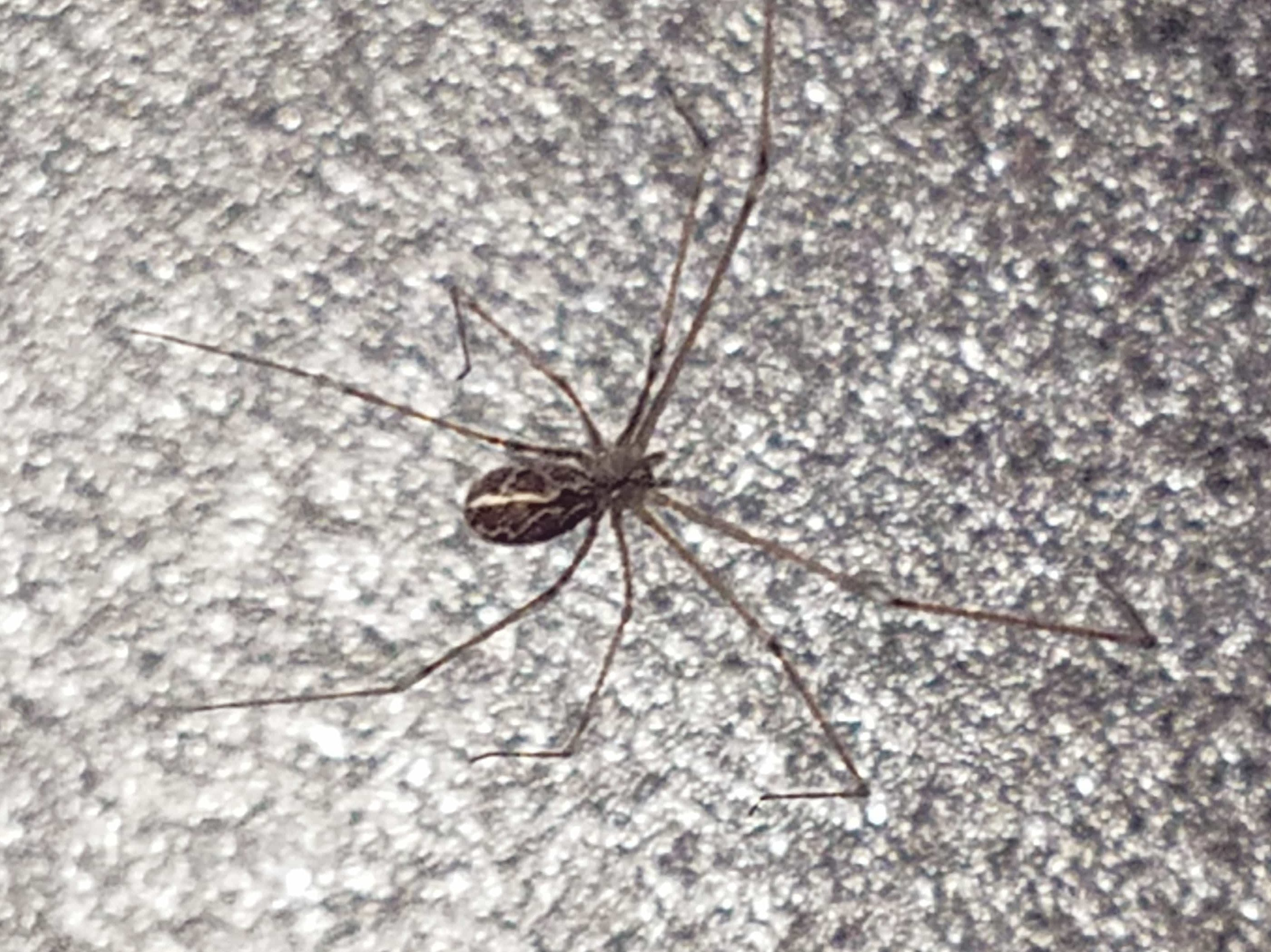 Picture of Holocnemus pluchei (Marbled Cellar Spider) - Dorsal