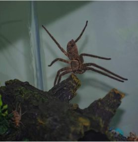 Picture of Heteropoda venatoria (Huntsman Spider) - Female - Lateral,Accidental adventive