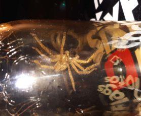 Picture of Olios giganteus (Giant Crab Spider) - Male - Dorsal