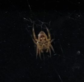 Picture of Eriophora ravilla (Tropical Orb-weaver) - Ventral