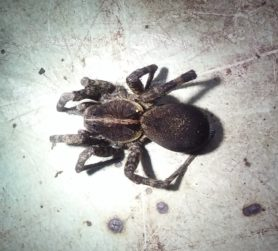 Picture of Tigrosa georgicola - Dorsal