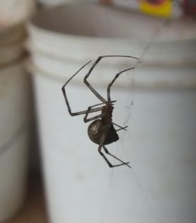 Picture of Parasteatoda tepidariorum (Common House Spider) - Lateral