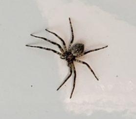 Picture of Philodromidae (Running Crab Spiders) - Dorsal