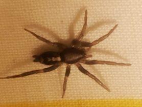 Picture of Herpyllus ecclesiasticus (Eastern Parson Spider) - Dorsal