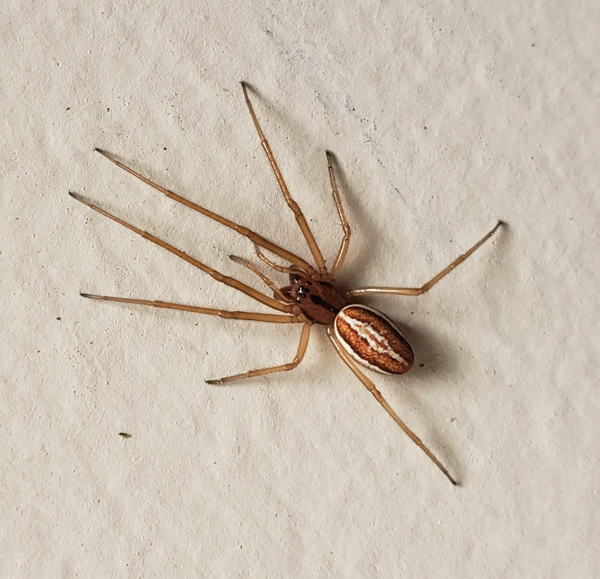 Picture of Pachygnatha (Thick-jawed Orb-weavers) - Dorsal