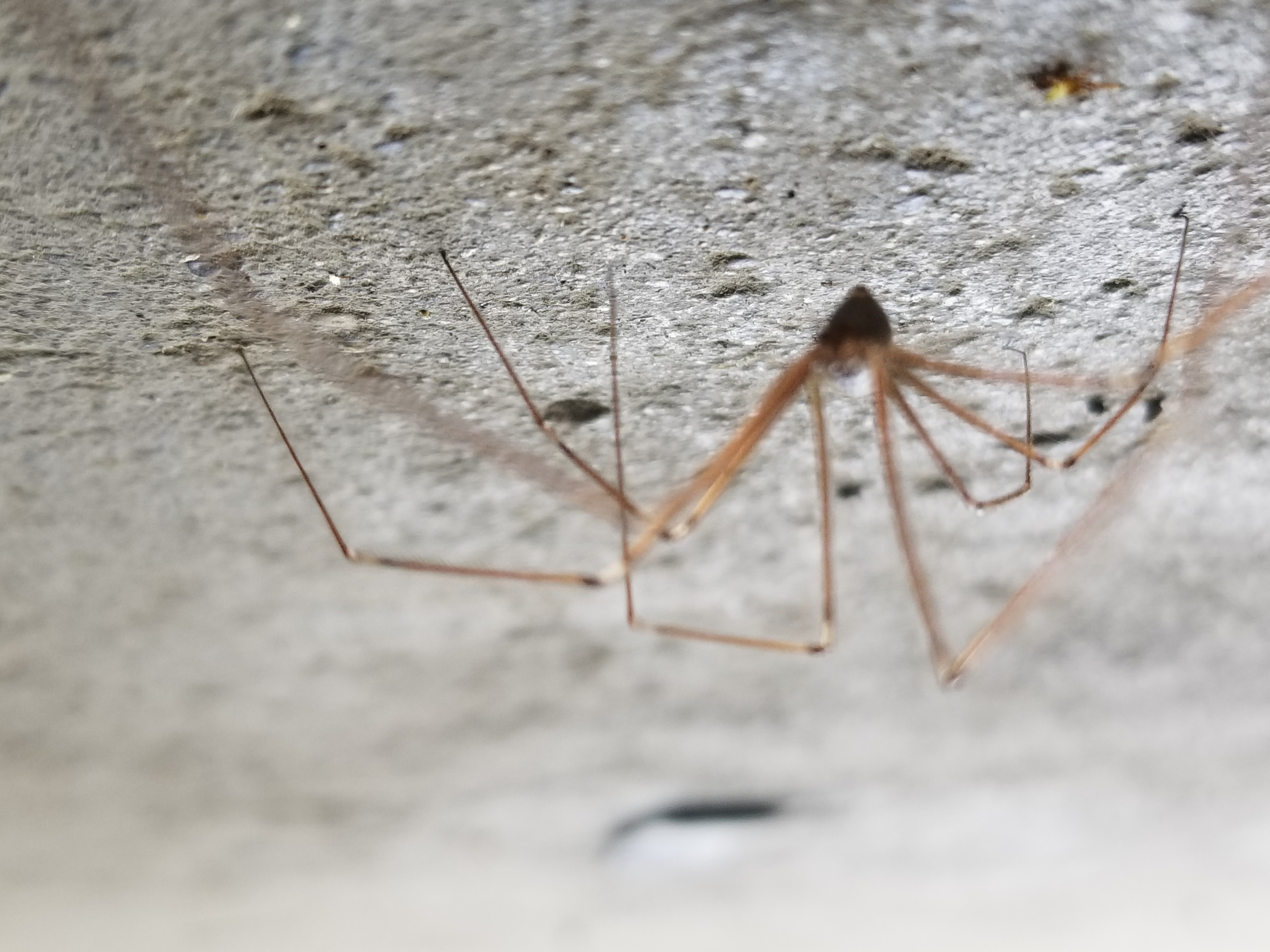 Picture of Pholcus phalangioides (Long-bodied Cellar Spider)