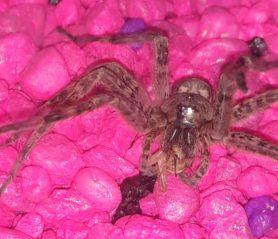 Picture of Dolomedes tenebrosus (Dark Fishing Spider) - Prey