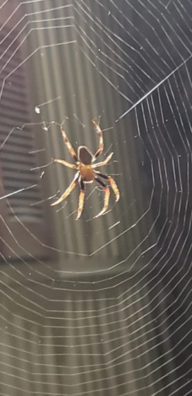 Picture of Eriophora ravilla (Tropical Orb-weaver) - Webs