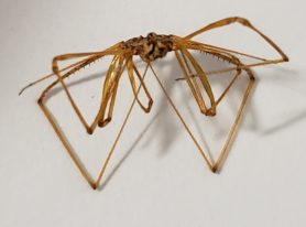 Picture of Scytodes spp. - Accidental adventive
