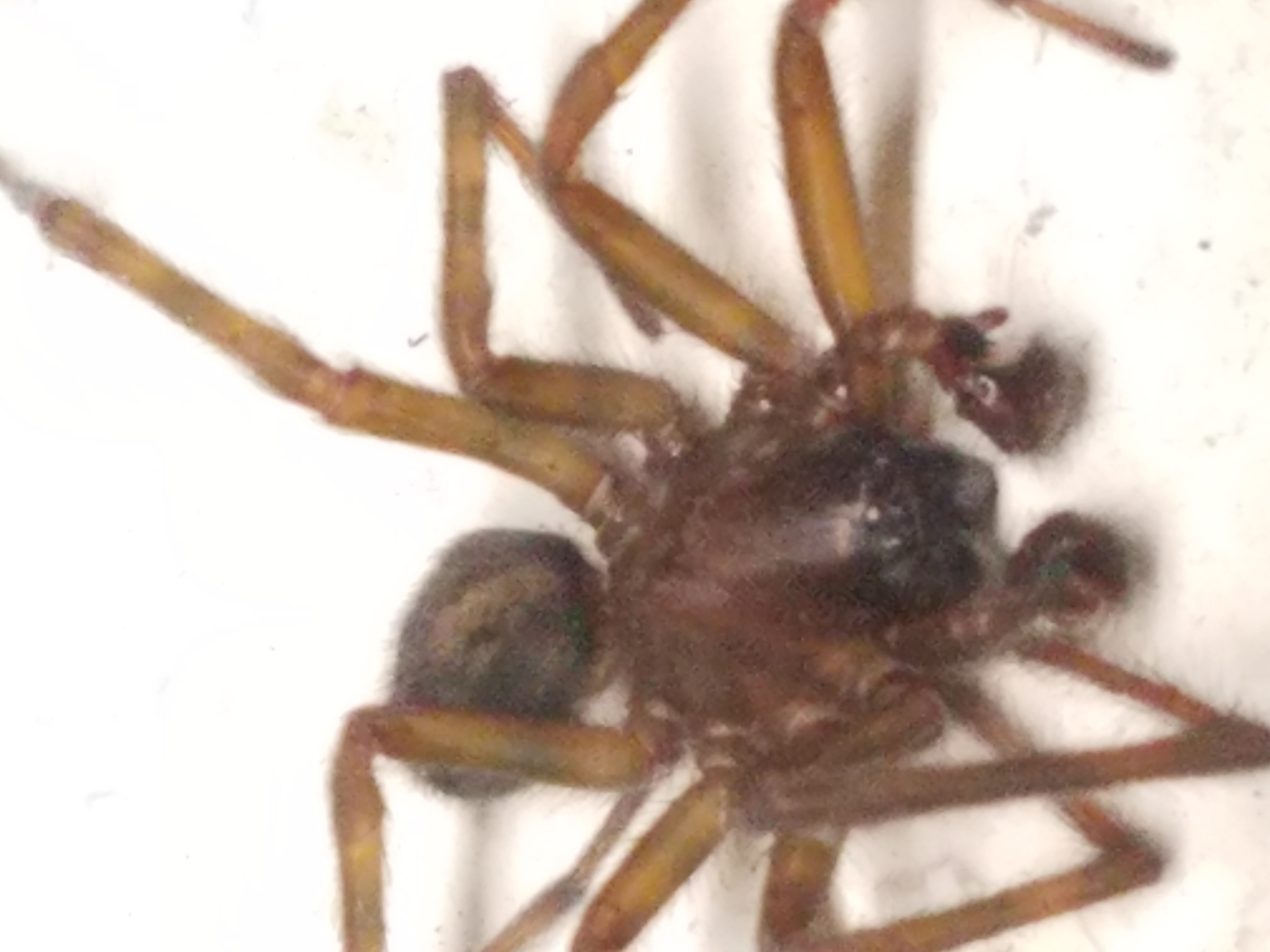 Picture of Amaurobius ferox (Black Lace-Weaver) - Male - Dorsal