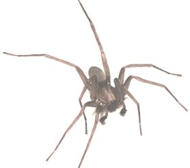 Picture of Titiotus spp. - Male - Dorsal