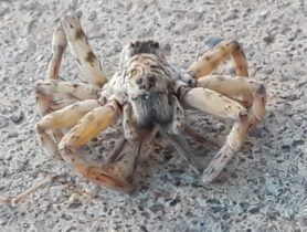 Picture of Arctosa littoralis (Beach Wolf Spider) - Eyes
