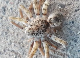Picture of Arctosa littoralis (Beach Wolf Spider) - Dorsal