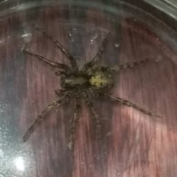Featured spider picture of Arctosa emertoni