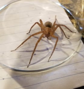 Picture of Pisaurina mira (Nursery Web Spider)