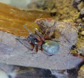 Picture of Callobius severus - Dorsal,Webs