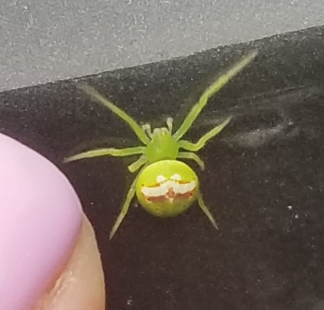 Picture of Araneus (Angulate & Round-shouldered Orb-weavers) - Dorsal