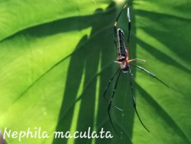 Picture of Nephila pilipes (Giant Golden Orb-weaver) - Dorsal
