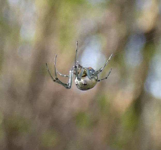 Picture of Leucauge venusta (Orchard Orb-weaver)