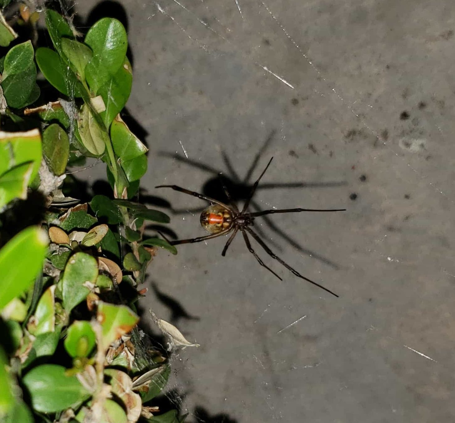 Picture of Latrodectus geometricus (Brown Widow Spider) - Ventral,Webs
