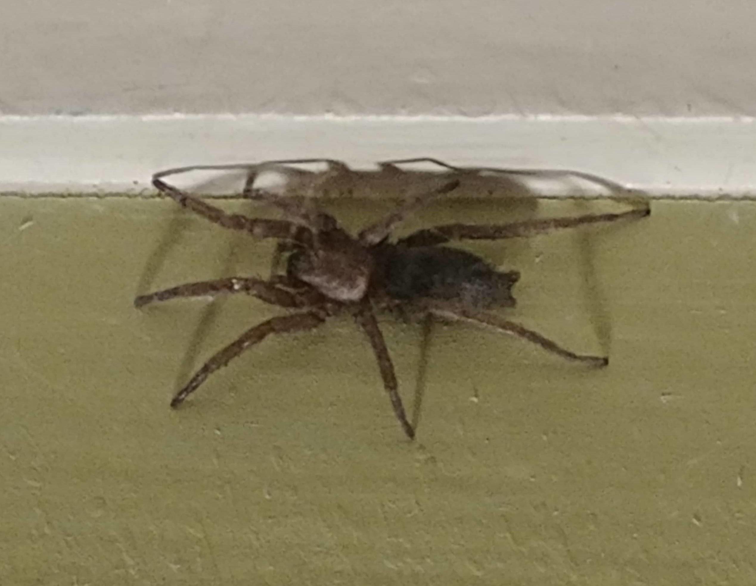 Picture of Scotophaeus blackwalli (Mouse Spider) - Dorsal