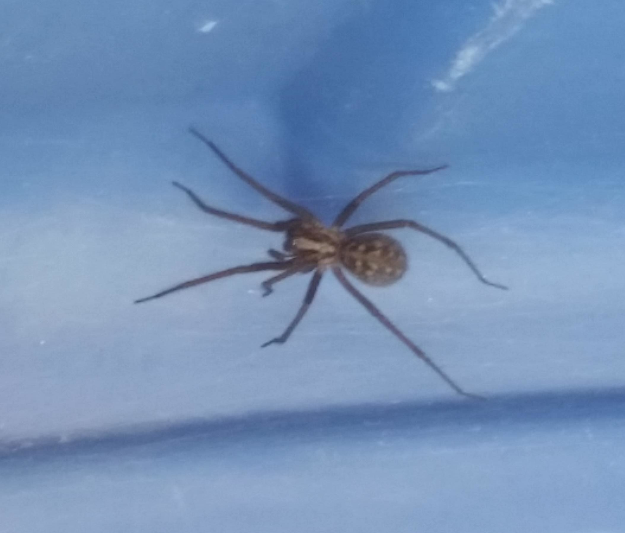 Picture of Eratigena duellica (Giant House Spider) - Dorsal