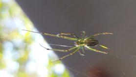Picture of Leucauge spp. (Silver Orb-weaver) - Dorsal