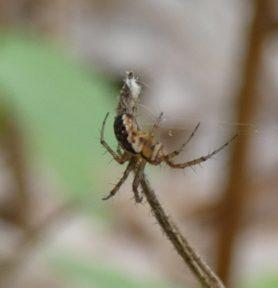 Picture of Mangora placida (Tuft-legged Orb-weaver) - Lateral