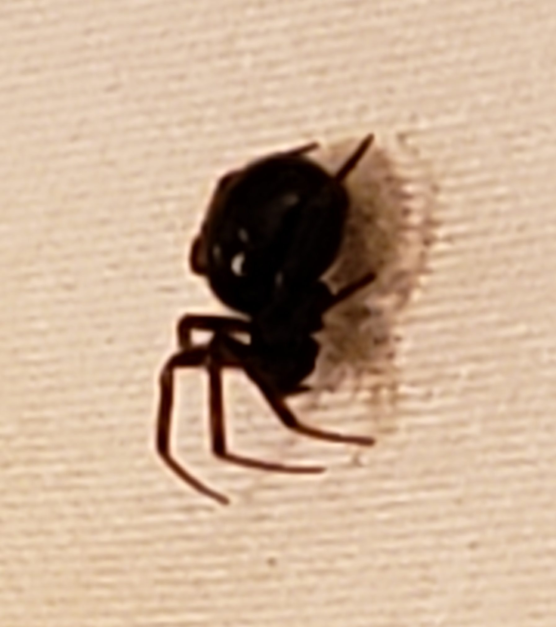 Picture of Steatoda (False Widows) - Lateral