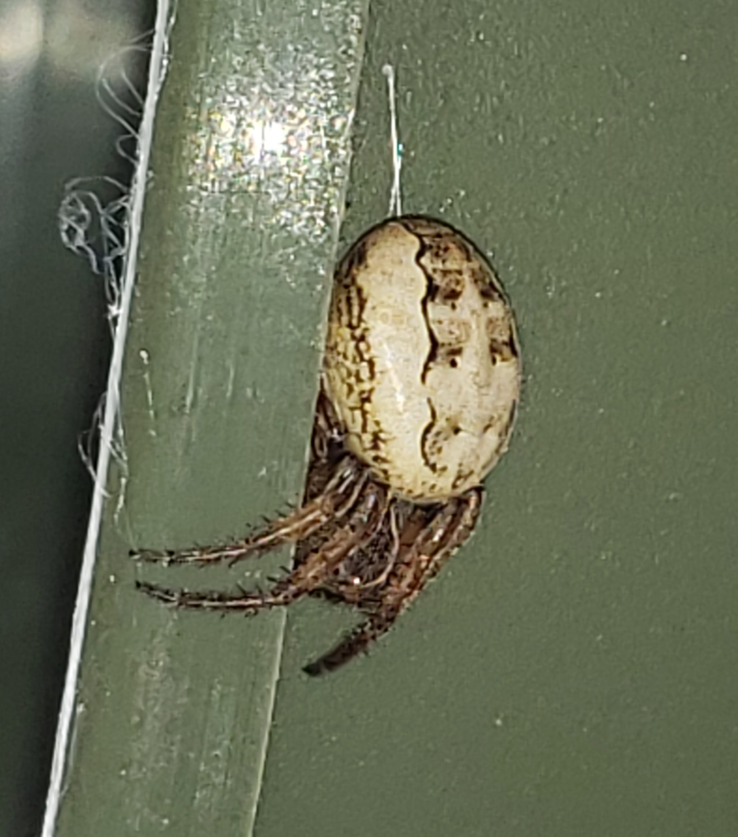 Picture of Larinioides cornutus (Furrow Orb-weaver) - Lateral