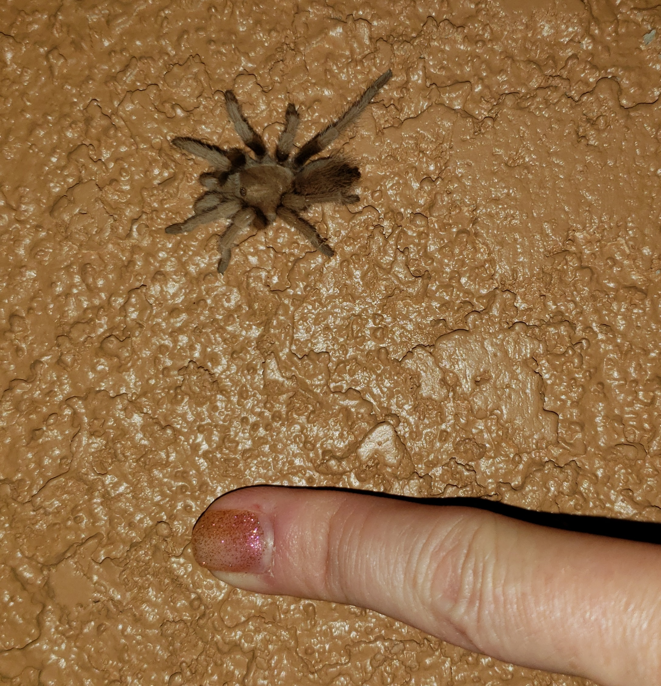 Picture of Theraphosidae (Tarantulas) - Dorsal