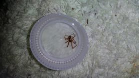 Picture of Parasteatoda tepidariorum (Common House Spider) - Male