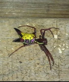 Picture of Micrathena sagittata (Arrow-shaped Micrathena) - Lateral