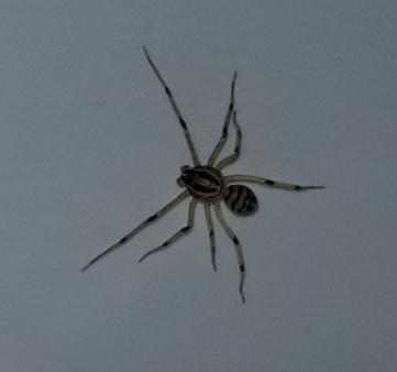 Picture of Scytodes lugubris - Dorsal