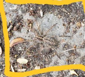 Picture of Hogna antelucana - Dorsal