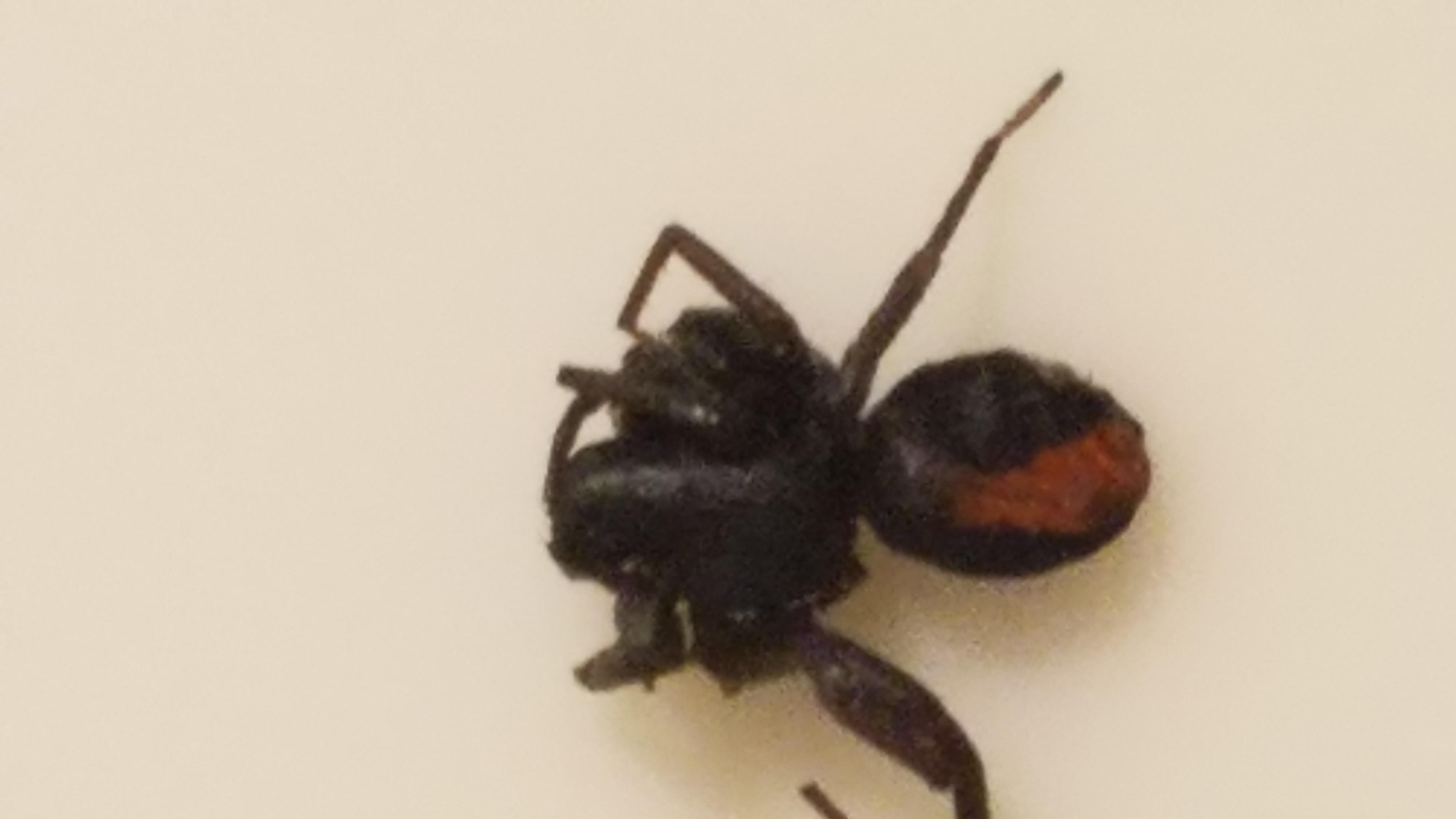 Picture of Castianeira crocata - Dorsal