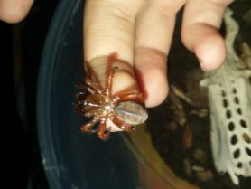 Picture of Myrmekiaphila spp. (Wafer-lid Trapdoor Spiders) - Dorsal