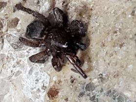 Picture of Gnaphosidae (Stealthy Ground Spiders)