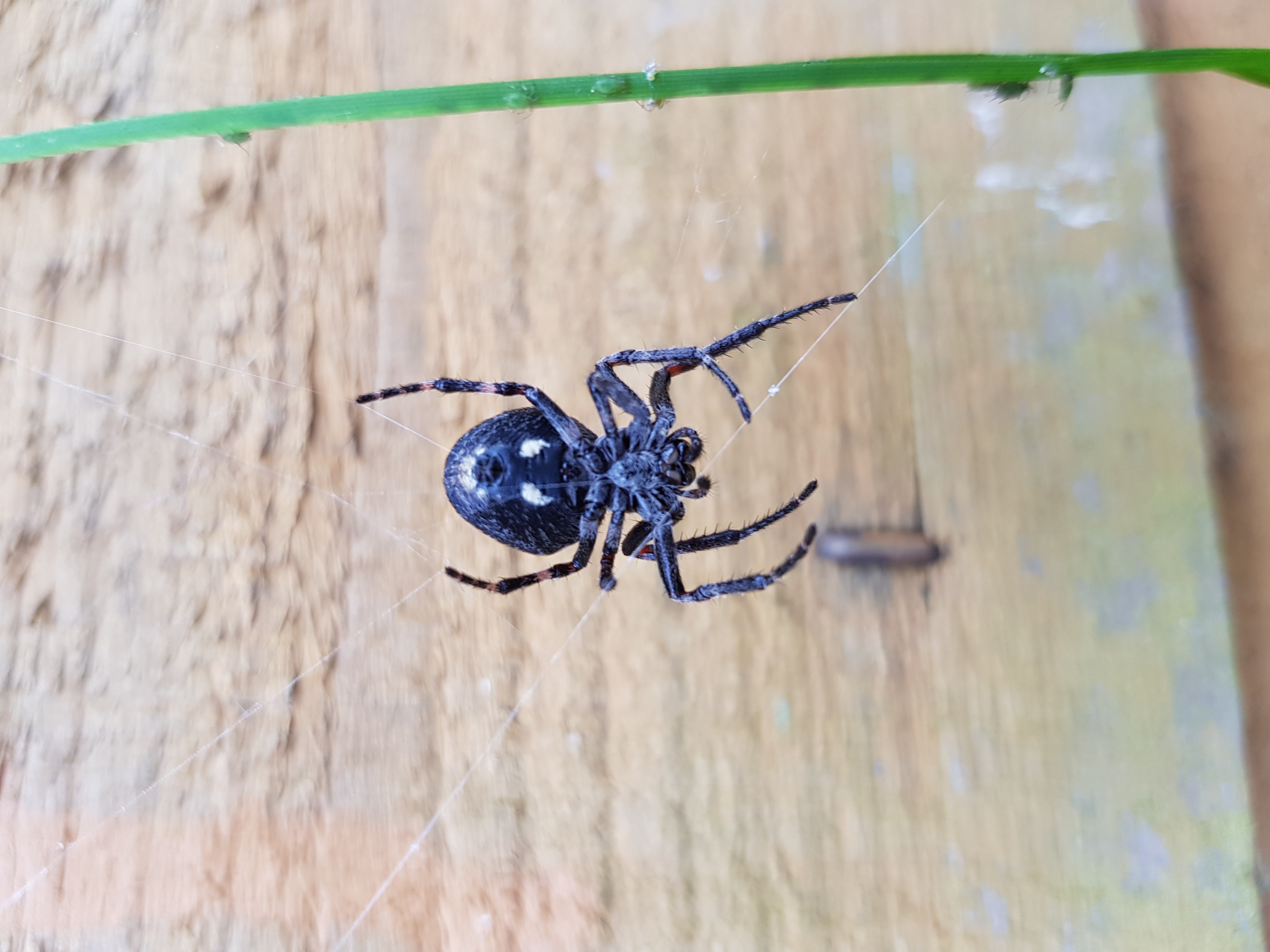 Picture of Nuctenea umbratica (Walnut Orb-weaver) - Ventral