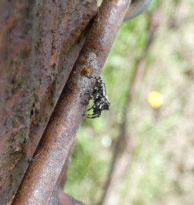 Picture of Salticidae (Jumping Spiders) - Lateral
