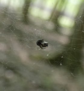 Picture of Theridiidae (Cobweb Weavers) - Lateral,Webs,Prey